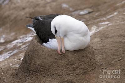 Black-browed Albatross Nesting Print by Charlotte Main