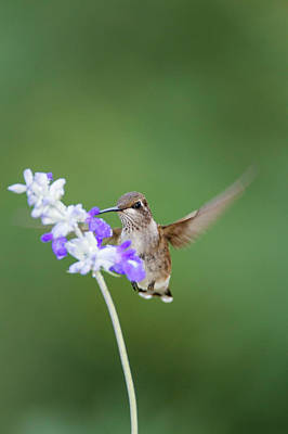 Nectaring Bird Photograph - Black-chinned Hummingbird Feeding by Larry Ditto