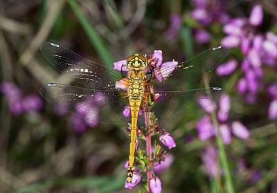 Darter Photograph - Black Darter Dragonfly by Bob Gibbons