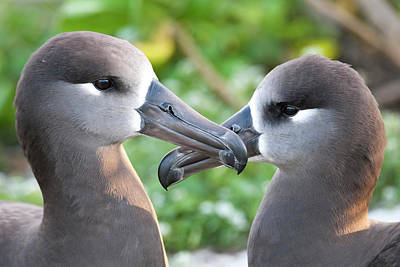 Bonding Photograph - Black-footed Albatross (phoebastria by Daisy Gilardini