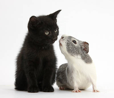House Pet Photograph - Black Kitten And Guinea Pig by Mark Taylor