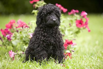 Black Poodle Print by Jean-Michel Labat