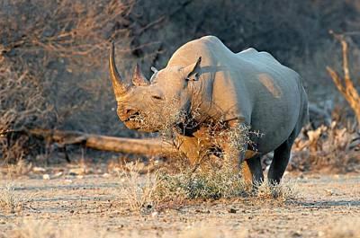 Black Rhinoceros Print by Tony Camacho