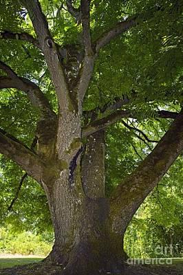 Walnut Tree Photograph - Black Walnut Juglans Nigra Tree by Bob Gibbons