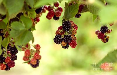 Blackberries Hanging From Bush Print by Iris Richardson