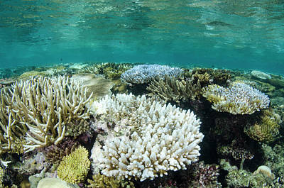 Bleached Coral, Fiji Print by Pete Oxford