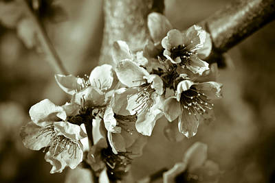 Fruit Tree Art Photograph - Blossoms by Frank Tschakert