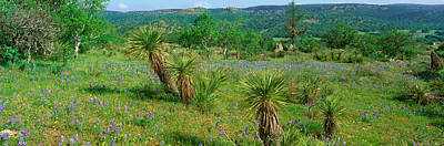 Blue Bonnets In Hill Country, Willow Print by Panoramic Images