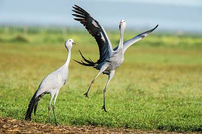 Bonding Photograph - Blue Cranes by Peter Chadwick