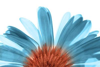 Gerber Daisy Photograph - Blue Gerber Daisy by Al Hurley