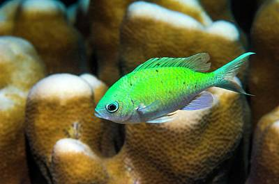 Hiding Photograph - Blue-green Chromis On Coral by Georgette Douwma