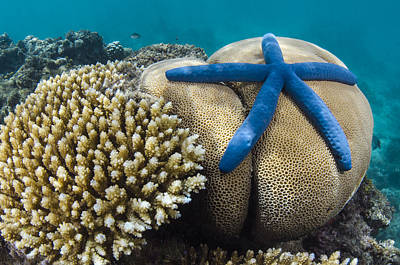 Day Lilly Photograph - Blue Sea Star On Coral Reef Fiji by Pete Oxford