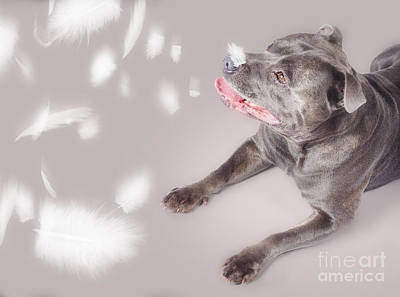 Blue Staffie Dog Watching Floating Feathers Print by Jorgo Photography - Wall Art Gallery
