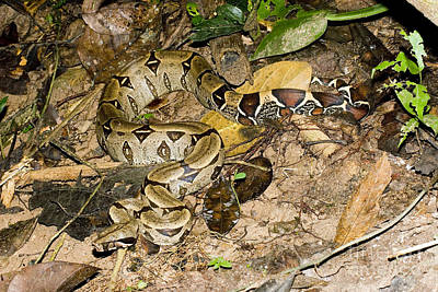 Boa Constrictor Photograph - Boa Constrictor by Gregory G. Dimijian, M.D.