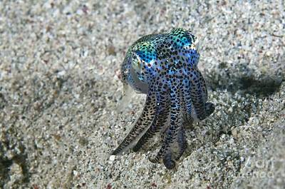 Bobtail Squid On The Seabed Print by Matthew Oldfield