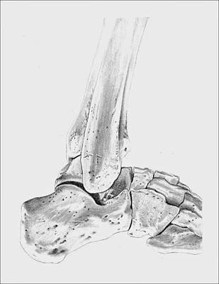 Human Joint Drawing - Bones Of The Ankle by Kathryn Foster