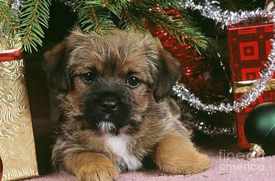 Puppy Christmas Photograph - Border Terrier Puppy Dog by John Daniels