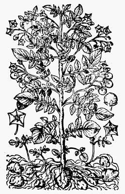 Potato Drawing - Botany Potato Plant by Granger