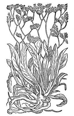 Lavender Drawing - Botany Sea Lavender by Granger