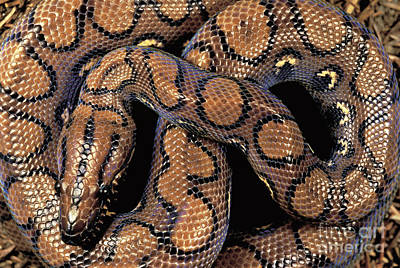 Boa Constrictor Photograph - Brazilian Rainbow Boa by Art Wolfe