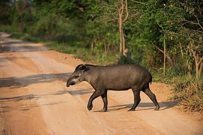 Brazilian Photograph - Brazilian Tapir (tapirus Terrestris by Pete Oxford