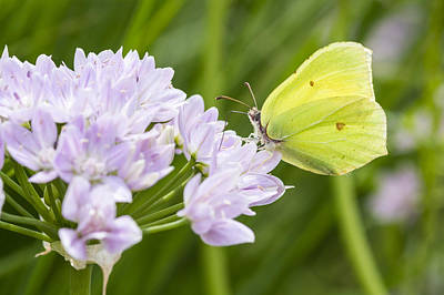 Brimstone Butterfly On A Flower Print by Chris Smith