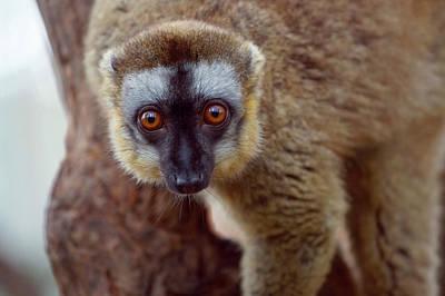 Lemur Photograph - Brown Lemur (eulemur Fulvus by Keren Su