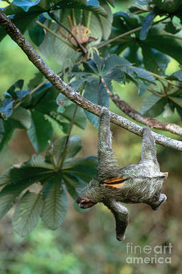 Brown-throated Three-toed Sloth Print by Art Wolfe