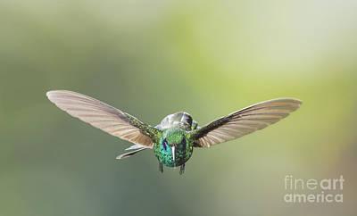 Bird Photograph - Brown Violet-ear Hummingbird by Dan Suzio