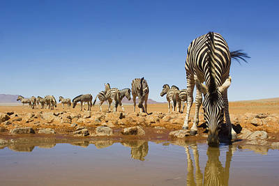 Of Zebras Photograph - Burchells Zebras At Waterhole Namibrand by Theo Allofs