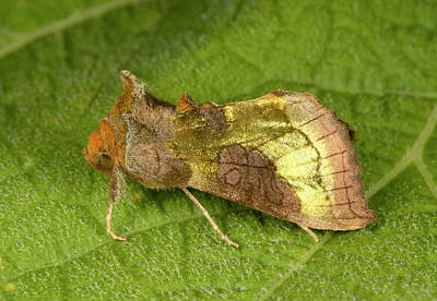 Burnished Brass Moth Print by Nigel Downer
