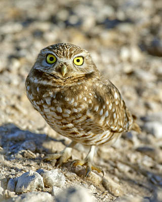 Owl Photograph - Burrowing Owl by Gary Langley