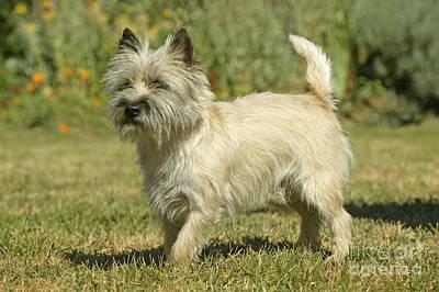 Cairn Terrier Photograph - Cairn Terrier by Jean-Michel Labat