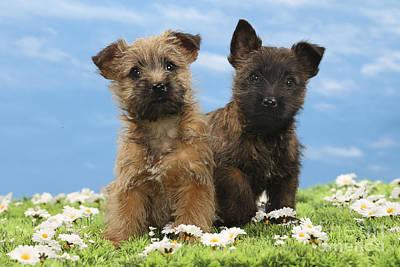 Cairn Terrier Photograph - Cairn Terrier Puppy Dogs by Jean-Michel Labat