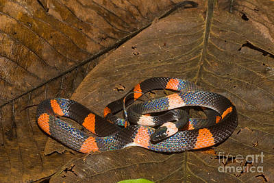 Calico Snake Print by William H. Mullins