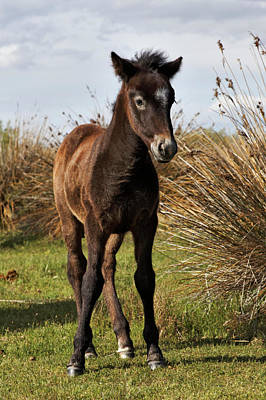 Adam Photograph - Camargue Horse Foal, Born Dark And Turn by Adam Jones