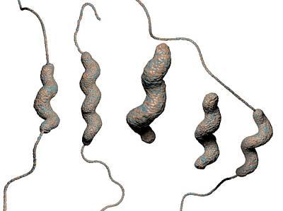 Campylobacter Jejuni Bacteria Print by Hipersynteza