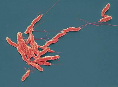 Microorganism Photograph - Campylobacter Jejuni Bacteria by Steve Gschmeissner