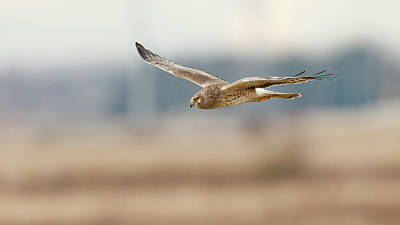 Harrier Photograph - Canada, British Columbia, Boundary Bay by Rick A Brown