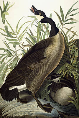 Geese Drawing - Canada Goose by John James Audubon