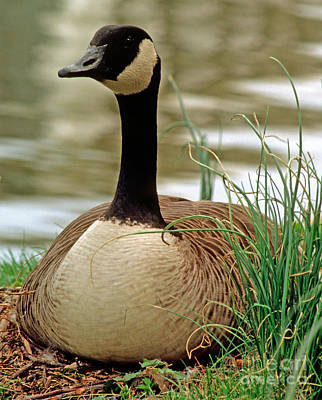 Geese Photograph - Canada Goose by Millard H. Sharp