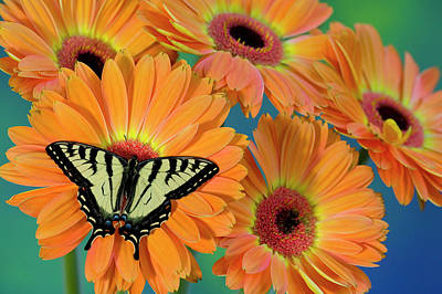 Gerber Daisy Photograph - Canadian Tiger Swallowtail Butterfly by Darrell Gulin