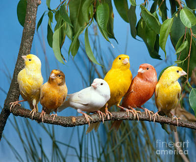 Canary Photograph - Canaries by Hans Reinhard