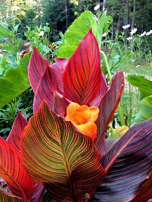 Canna Lily Stripes Print by MTBobbins Photography