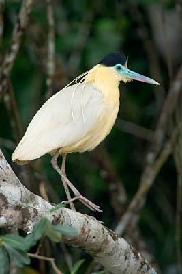 Wetlands Photograph - Capped Heron Pilherodius Pileatus by Panoramic Images
