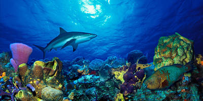 Parrotfish Photograph - Caribbean Reef Shark Carcharhinus by Panoramic Images