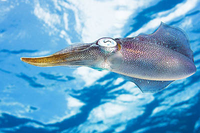 Undersea Photograph - Caribbean, Reef Squid Sepioteuthis by Dave Fleetham