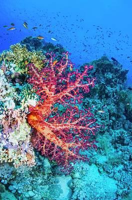 Anthozoa Photograph - Carnation Coral by Georgette Douwma