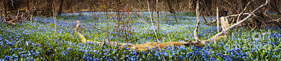 March Photograph - Carpet Of Blue Flowers In Spring Forest by Elena Elisseeva
