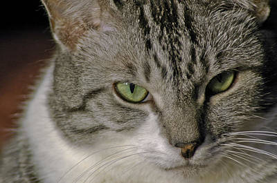 Cat Photograph - Catitude by LeeAnn McLaneGoetz McLaneGoetzStudioLLCcom